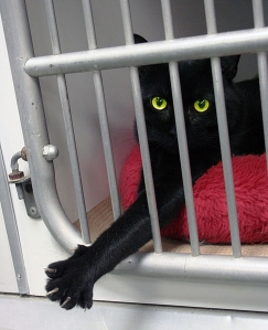 draft_lens7055662module57949802photo_1253246451486px-Black_cat_Animal_Rescue_GalawebDesign